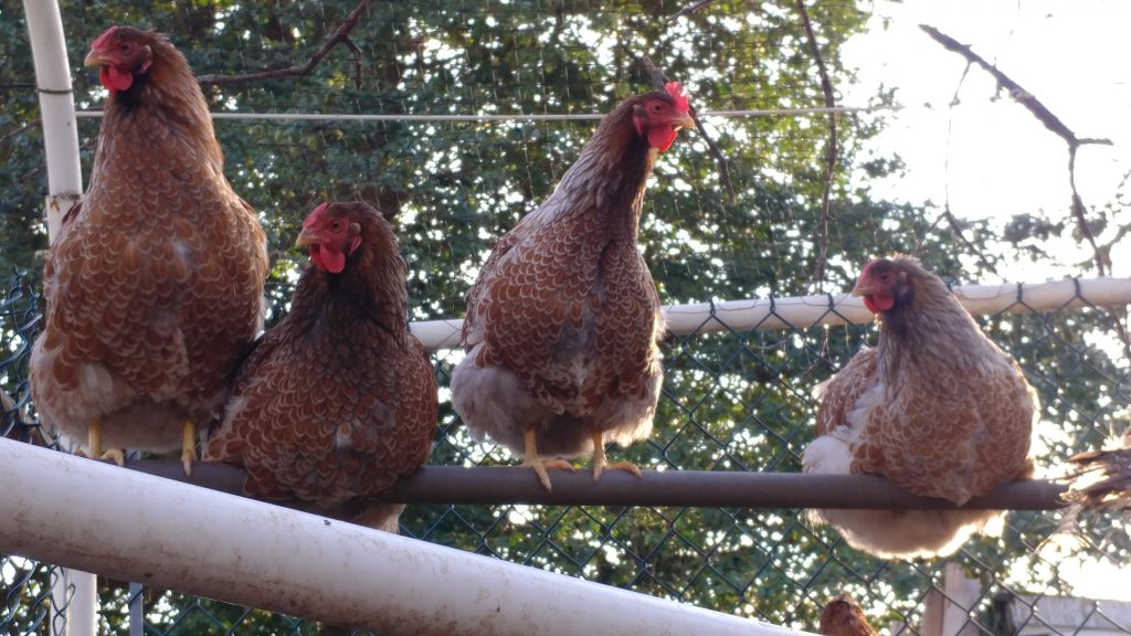Four chickens sitting on a pole in a chicken coop in front of a tree in the daylight