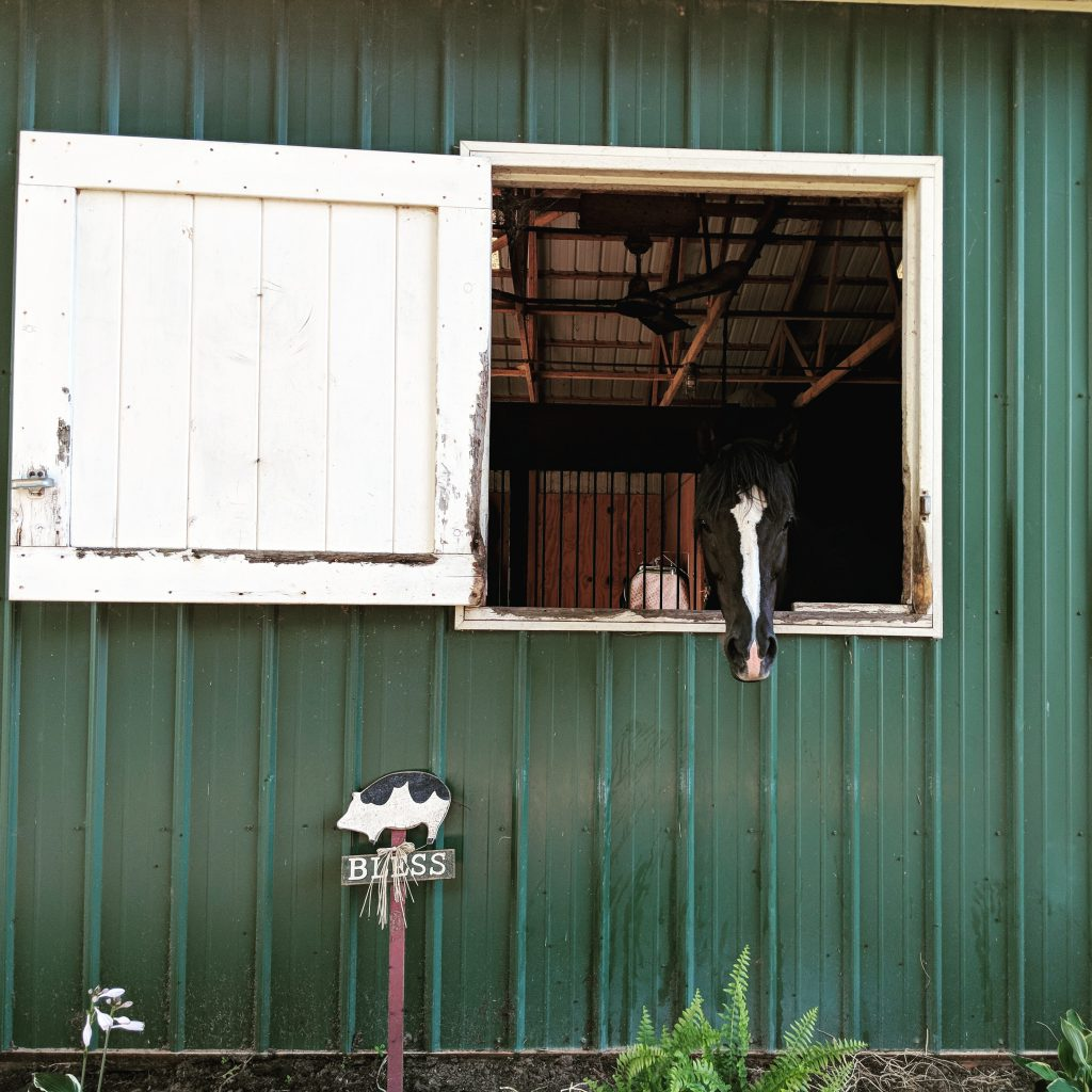 Black horse with white stripe looks out the stall door from a green barn